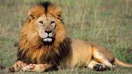 Ένα αδέξιο λιοντάρι! (video)