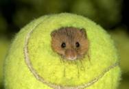 Μπαλάκια του τένις που γίνονται σπίτι για... ποντίκια (pics)