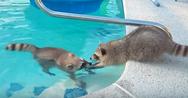 Τα αξιαγάπητα αδέρφια ρακούν και η πισίνα! (video)
