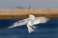Εντυπωσιακές φωτογραφίες με πτηνά που... ψαρεύουν!