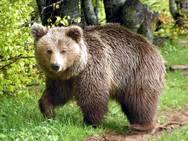 ''Αρκτούρος'': Αύξηση του πληθυσμού των αρκούδων στην Ελλάδα