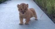 Η χαριτωμένη κραυγή αυτού του μικρού λιονταριού θα σας κλέψει τη καρδιά (video)