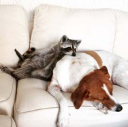 Ρακούν μεγάλωσε με... οικογένεια σκύλων! (pics)