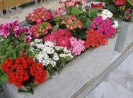 Πάτρα: Ξερά λουλούδια σε γλάστρες και ζαρντινιέρες από… χλώριο!