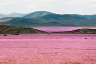 Όταν η άγονη έρημος γίνεται απέραντο λιβάδι λουλουδιών (pics+video)