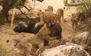 Κινδυνεύουν με εξαφάνιση τα μισά λιοντάρια της Αφρικής!