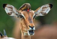 Πτηνό προσφέρει κούρα ομορφιάς σε... ιμπάλα (pics)