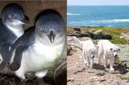 Οι τετράποδοι φύλακες - άγγελοι μικρών πιγκουίνων! (pics)