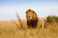 Σώζοντας την ζωή ενός λιονταριού (pic)
