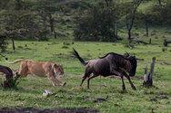 Το γκνου που κατάφερε να ξεφύγει από τα δόντια ενός λιονταριού (video)
