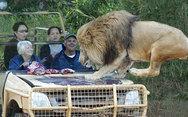 Πόσο ψύχραιμοι θα παραμένατε με ένα λιοντάρι πάνω στο καπό του αυτοκινήτου;