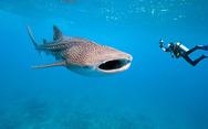 Φαλαινοκαρχαρίας «συνεργάζεται» με δύτη για να σωθεί! (video)