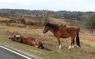 Βρετανία: Άλογο πενθεί για το χαμό της μητέρας του (pics)