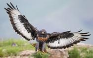 Φωτογράφος απαθανάτισε αρπακτικό πουλί σε μια πολύ εντυπωσιακή πόζα (pic)