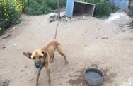 Αχαΐα: Είχε δέσει τον σκύλο του χωρίς τροφή και νερό για να... αγριέψει