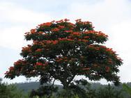 Σπαθοδέα: Το αφρικανικό δέντρο με τις τουλίπες (pics+video)