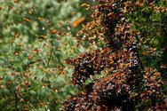Μεξικό: Το πανέμορφο δάσος με τις εκατομμύρια πεταλούδες (pics+video)