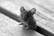 Αρουραίοι και ποντίκια στους κοινόχρηστους χώρους της Πάτρας