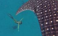 Κολυμπώντας δίπλα σε φαλαινοκαρχαρίες (video)