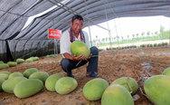 Έβγαλε 131 καρπούζια από ένα φυτό! (pics+video)