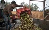 Το μάζεμα της ελιάς - Η διαδικασία από τον καρπό πάνω στο δέντρο μέχρι το «χρυσό» ελαιόλαδο (pics)