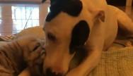 Σκύλος 'υιοθέτησε' δύο εγκαταλελειμμένα τιγράκια (video)