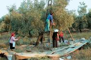 Δυτ. Ελλάδα: Οδηγίες για τη συγκομιδή της ελιάς και την παραγωγή και αποθήκευση του ελαιόλαδου
