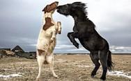 Τα άγρια άλογα της Ισλανδίας (pics)