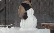 Γιγάντιο πάντα 'τα βάζει' με χιονάνθρωπο (video)