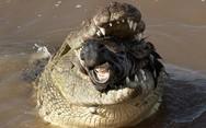 Κροκόδειλος καταβροχθίζει ολόκληρη ζέβρα (pics)