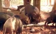 Γουρούνια κομματιάζουν γιγάντιο πύθωνα (video)