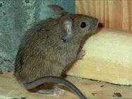 Ηλεία: Γέμισε ποντίκια η αστυνομική διεύθυνση Ηλείας