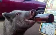 Το γουρούνι που 'κατεβάζει' μπίρες στο λεπτό (video)
