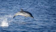 Κοπάδι δελφινιών εμφανίστηκε στη θάλασσα του Ψαθοπύργου (video)