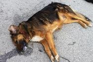Αγρίνιο: Έριξαν φόλα στον σκύλο 63χρονης