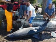 Νεκρό δελφίνι στη Γλυφάδα Φωκίδας! (φωτο)