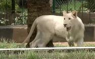 Σπάνιο λευκό λιοντάρι γιόρτασε τα πρώτα του γενέθλια (video)
