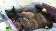 Γάτα θηλάζει οκτώ... σκαντζοχοιράκια (video)