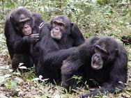 Βρέθηκαν ηλικιωμένοι χιμπατζήδες με Αλτσχάιμερ