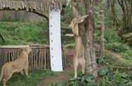 Δείτε πως μετρούν το ύψος και το βάρος των ζώων ενός ζωολογικού κήπου (video)