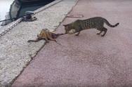 Γάτα εναντίον... χταποδιού (video)