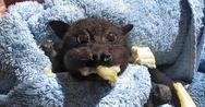 Μωρό νυχτερίδα τρώει... μπανάνα (video)
