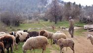 Η ευλογιά κατέστρεψε τους κτηνοτρόφους στην Μυτιλήνη