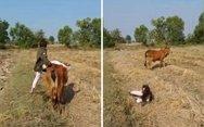 Όταν προσπαθείς να καβαλήσεις μια αγελάδα (video)