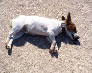 Καλάβρυτα - Άγνωστος έδωσε δηλητηριασμένη τροφή σε σκύλο