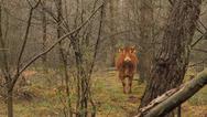 Viral η αγελάδα που δραπέτευσε πριν τη σφαγή της (video)