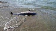 Εντοπίστηκε νεκρό δελφίνι στην Εύβοια