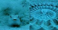 Ψάρι... ζωγραφίζει για να προσελκύσει το ταίρι του (video)