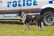 Αυστραλία: Ο 17χρονος Μαξ έγινε επίτιμος σκύλος της Αστυνομίας