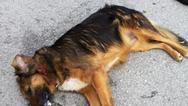 Δυτική Ελλάδα: Θανάτωσαν σκυλιά με δηλητηριασμένη τροφή